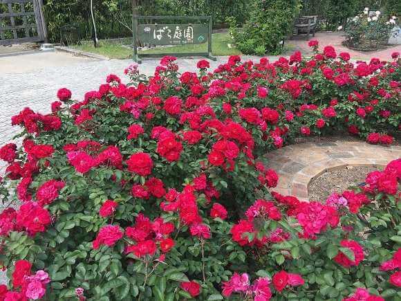 【浜寺公園のばら庭園】見ごろや庭園の様子をご紹介