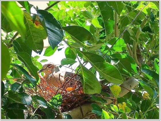 玄関先の木に鳩が巣を作っていました