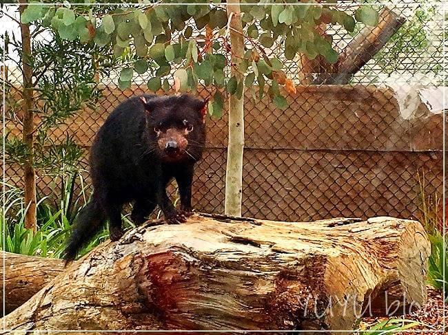 メルボルン動物園のタスマニアデビル