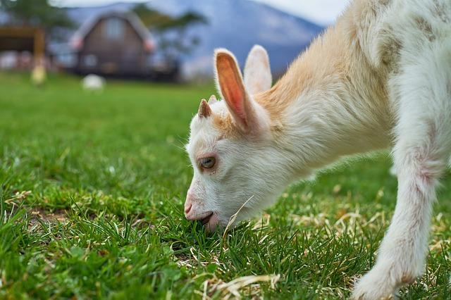 牧場のヤギが草を食べている