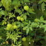 子供が喜ぶ緑のカーテン『フウセンカズラ』の種まき。